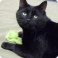 Adopt A Pet :: Pyewacket - Chicago, IL