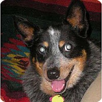 Adopt A Pet :: Lady (adoption pending) - Phoenix, AZ