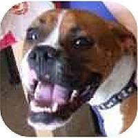 Adopt A Pet :: Simon - Sunderland, MA