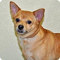 Adopt A Pet :: Macy - Port Washington, NY