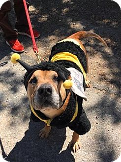 Shar Pei Mix Dog for adoption in Briarcliff Manor, New York - Vespa