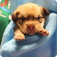 Adopt A Pet :: Crews - Brattleboro, VT