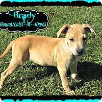 Adopt A Pet :: Brady meet me 11/13 - East Hartford, CT