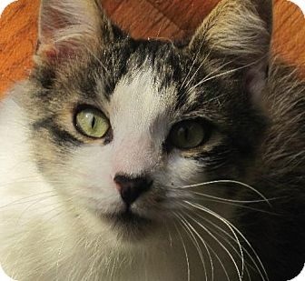 Maine Coon Cat for adoption in Richmond, California - Forrest