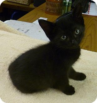 Domestic Shorthair Kitten for adoption in Livingston, Texas - Jamie