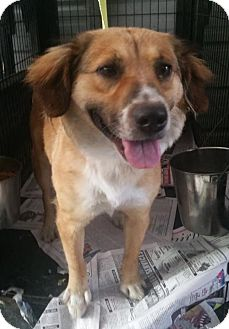 Collie/Golden Retriever Mix Dog for adoption in Ringoes, New Jersey - Maggie