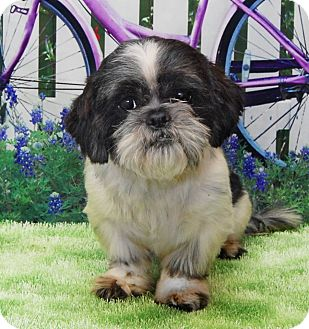 Shih Tzu Mix Dog for adoption in Urbana, Ohio - Dino Davis