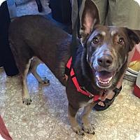 German Shepherd Dog Dog for adoption in Bloomington, Illinois - Marlo