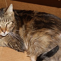 American Shorthair Cat for adoption in Torrance, California - Corey