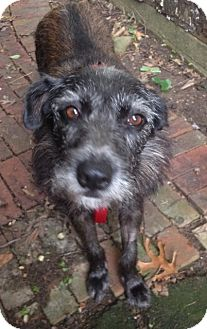 Schnauzer (Standard) Mix Dog for adoption in Memphis, Tennessee - Edith