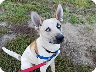 Siberian Husky/Australian Cattle Dog Mix Dog for adoption in Eldora, Iowa - Merlin/adopted