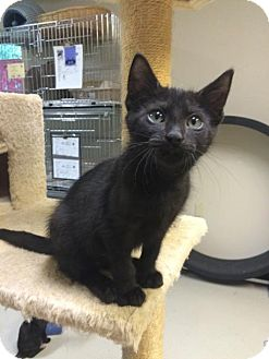 Domestic Shorthair Kitten for adoption in Waco, Texas - Godiva