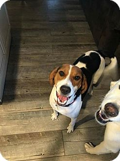 Treeing Walker Coonhound Dog for adoption in Las Vegas, Nevada - uncle Buck