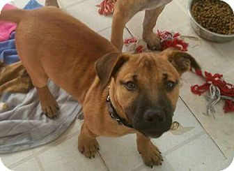 American Staffordshire Terrier Mix Puppy for adoption in Pottsville, Pennsylvania - Rosie