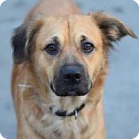 Adopt A Pet :: Nina Sheplie - Woodland Park, NJ