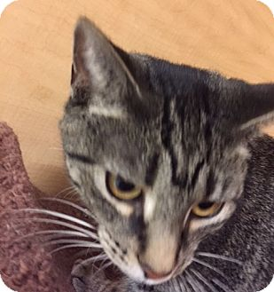 Domestic Shorthair Cat for adoption in Livonia, Michigan - Lori