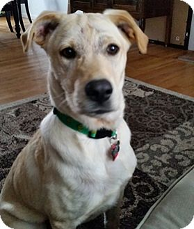 Labrador Retriever Mix Puppy for adoption in Broomfield, Colorado - Rusty