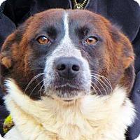 Adopt A Pet :: Chloe - Westwood, NJ