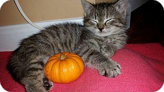 Domestic Shorthair Kitten for adoption in St. Charles, Missouri - Stuffin