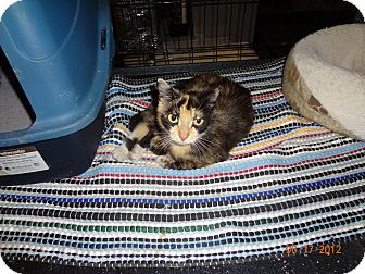 Calico Cat for adoption in Saint Albans, West Virginia - Kim