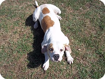 American Bulldog/Basset Hound Mix Dog for adoption in Tampa, Florida - Maddie