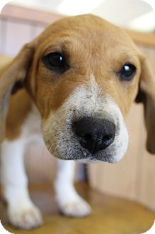 Beagle/Labrador Retriever Mix Puppy for adoption in Hamburg, Pennsylvania - Max
