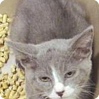 Domestic Shorthair Kitten for adoption in Miami, Florida - Bentley
