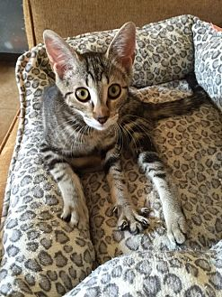 Domestic Shorthair Kitten for adoption in Monrovia, California - Xena