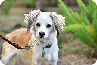 Spaniel (Unknown Type) Mix Dog for adoption in Santa Monica, California - Parker