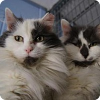 Adopt A Pet :: Mirage - New Milford, CT