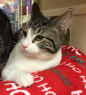 Domestic Shorthair Cat for adoption in Centerton, Arkansas - Bryce