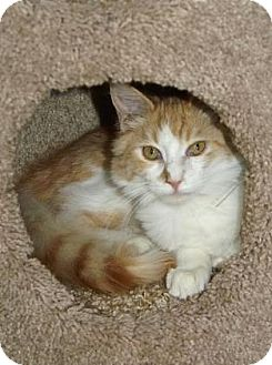 Domestic Longhair Kitten for adoption in Englewood, Florida - Beau