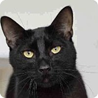 Domestic Shorthair Cat for adoption in Austin, Texas - Austin