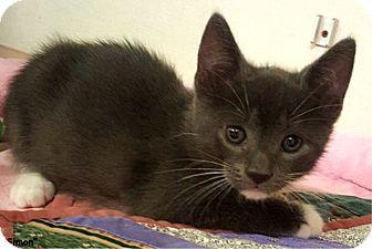 Domestic Shorthair Kitten for adoption in Key Largo, Florida - Simon