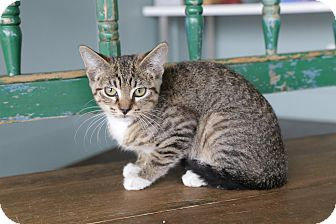 Domestic Shorthair Cat for adoption in San Antonio, Texas - Vicky