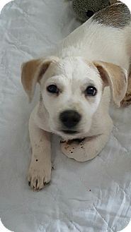 Hound (Unknown Type)/Labrador Retriever Mix Puppy for adoption in Powder Springs, Georgia - Rex
