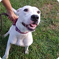 American Bulldog Dog for adoption in Darien, Georgia - Lyla