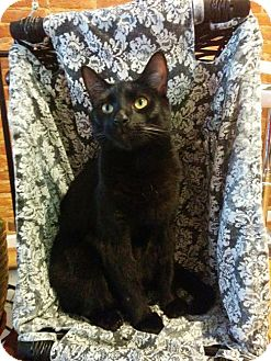 Domestic Shorthair Cat for adoption in Baltimore, Maryland - Inigo Montoya