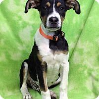 Adopt A Pet :: SPOT - Westminster, CO