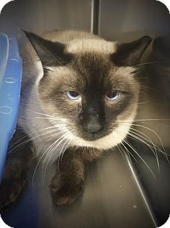 Siamese Cat for adoption in Webster, Massachusetts - Little Boy Blue