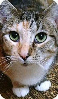 Domestic Shorthair Cat for adoption in Garden City, Michigan - Blossom