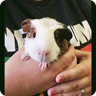 Guinea Pig for adoption in Pasco, Washington - Thunder