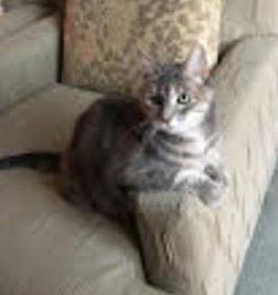 Domestic Shorthair Cat for adoption in Washington, D.C. - PLEASE FOSTER CHLOE!