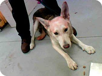 German Shepherd Dog/Chow Chow Mix Dog for adoption in Conroe, Texas - AIZE