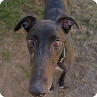Greyhound Dog for adoption in Randleman, North Carolina - Coalsack