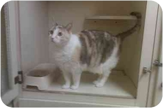 Calico Cat for adoption in Bartlett, Tennessee - Callie