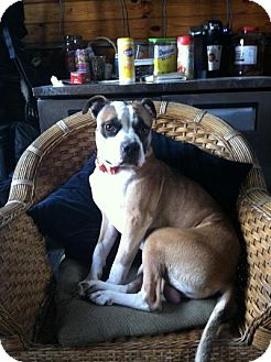Boxer/American Staffordshire Terrier Mix Dog for adoption in Long Beach, New York - Boomer