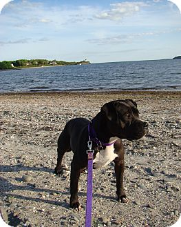 Boxer/American Pit Bull Terrier Mix Dog for adoption in Acushnet, Massachusetts - Shadow
