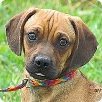 Adopt A Pet :: Mr. Wrinkles - Providence, RI
