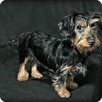 Adopt A Pet :: Kia - adoption pending - Norwalk, CT